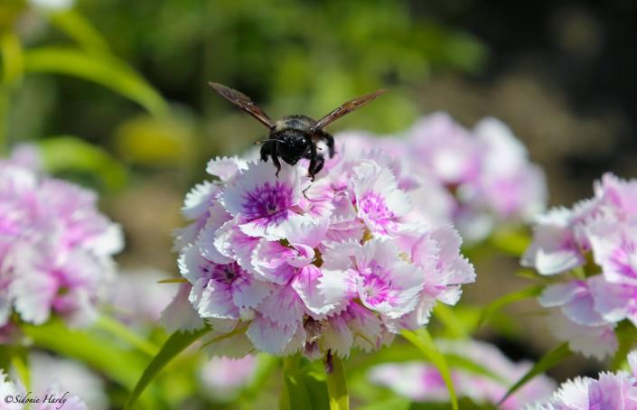 abeille charpentier décollage