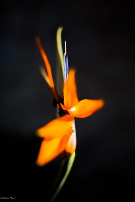 Strelitzia reginae fleur orange