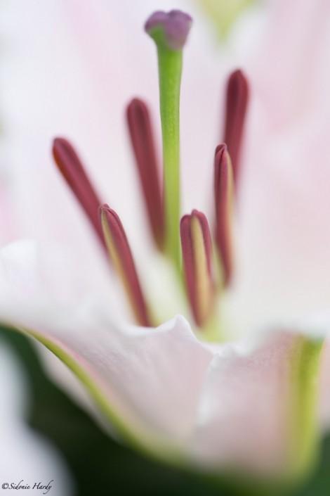 hardy_2016_07_-27_0001- Fleur blanche, fleur de lys, pistil, étamine, biodiversité, botanique