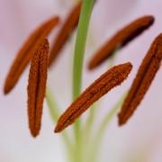 HARDY, fleur de lys, pistil, étamine, biodiversité, botanique