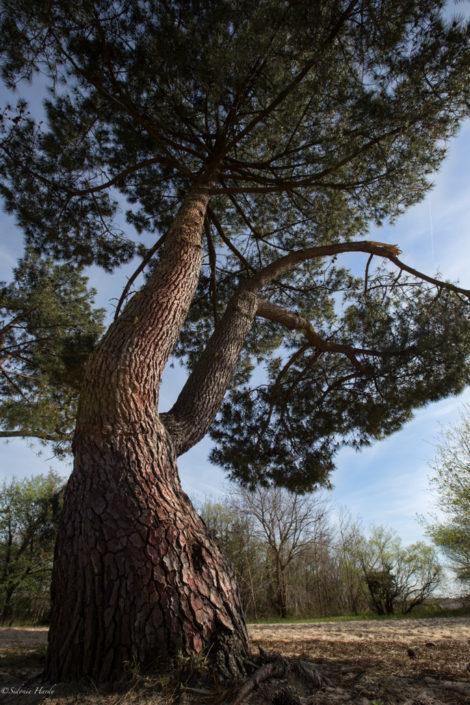 pin maritime, les landes, biscarrosse, ecorce, gemmage, bois, forêt