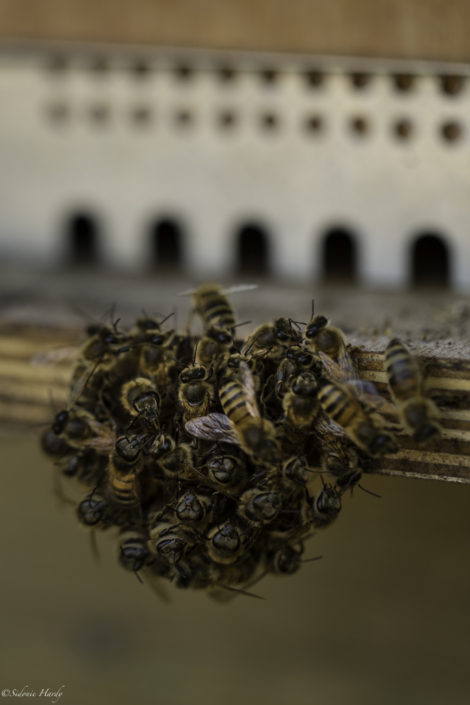 abeille ruche miel apiculture